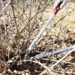 Обрезка кустарников поможет увеличить урожай ягод
