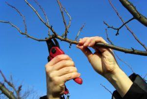 Обрезка плодовых и фруктовых деревьев