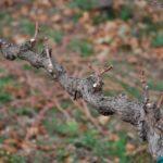 Для чего нужно обрезать виноград
